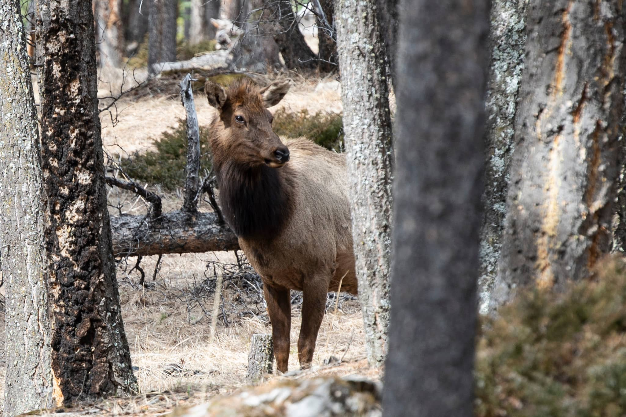 An elk poking his head from behind a tree.