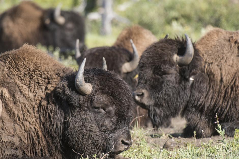 Image of Bison