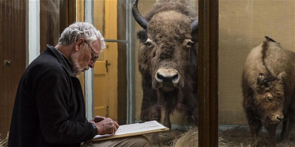 A man sits in front of bison displayed in a museum, he is sketching it.