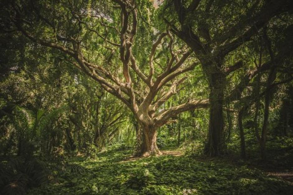 A gnarled and wild looking deciduous tree is in focus growing among a thick green forest.