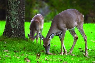 Mule deer on campus