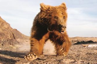 Image from the book Tracking Gobi Grizzlies