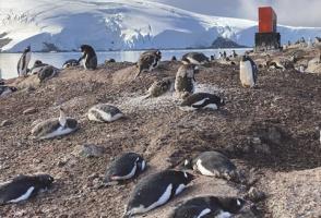 Gentoo Penguins, Antarctica. Photo by Corrie Wedel.
