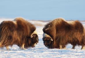 From the film The Arctic: Our Last Great Wilderness, photo by Florian Schultz