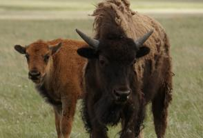 Image from the film Bison Return