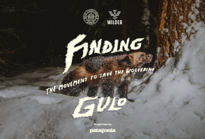 From the Film Finding Gulo