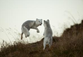 Two Arctic foxes play in the grass