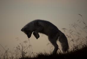 Arctic fox pup pounces in grass