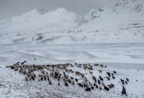 Kyrgyz man herding his flock of goats