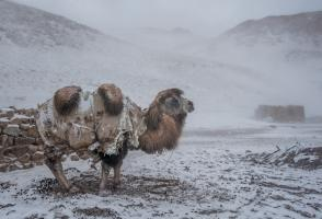A Bactrian camel stoically braves a snowstorm at a Kyrgyz winter camp © Beth Wald